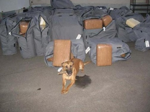 Picture of DPS Canine used to find drugs