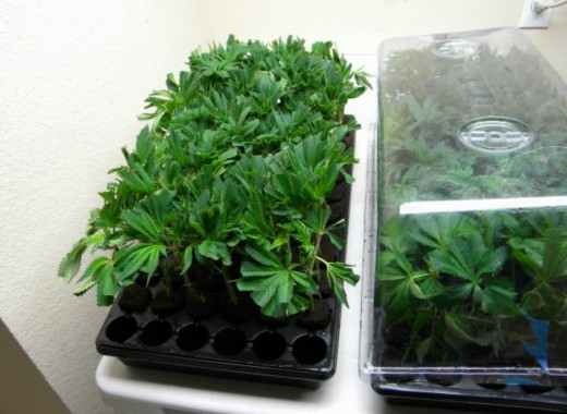 Marijuana Seedlings growing indoors
