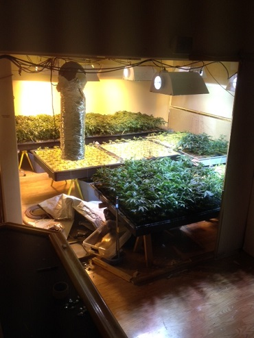 Numerous Marijuana Plants Growing Inside home