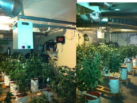 Indoor Grow of 186 Marijuana Plants Raided in Henderson, NV