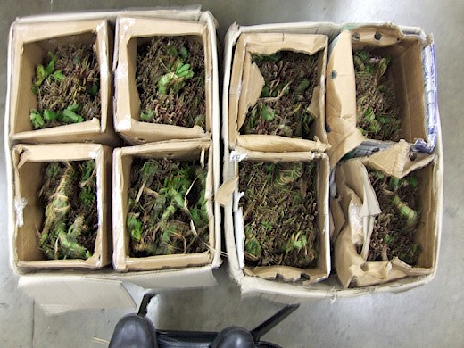 100 Pounds of Khat  and Steroids Seized in Philadelphia, PA